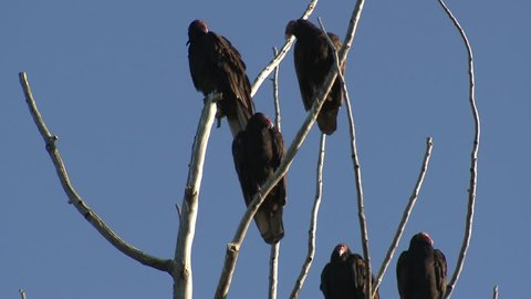 Turkey Vulture Adult Several Vultures Perched Looking Around in Fall in South Dakota