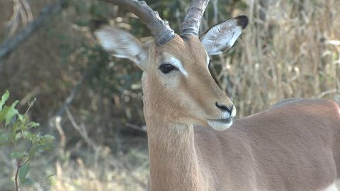 Impala Buck Male Adult Lone Scent Marking Dry Season Scent-marking Gland Eye Gland Odor in South Africa