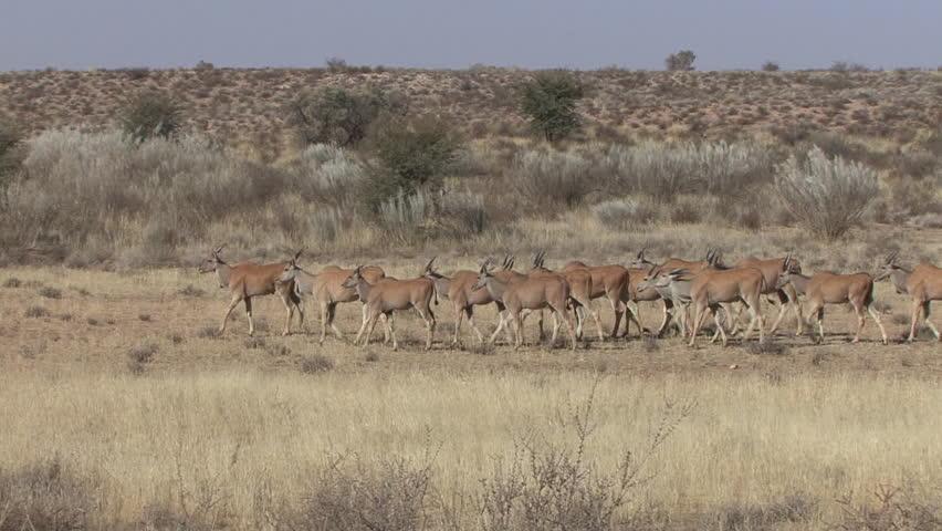 Greater Kudu Doe Female Adult Immature Herd Walking Dry Season in South Africa