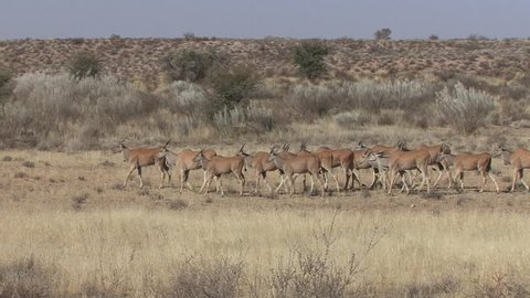 Greater Kudu Doe Female Adult Immature Herd Walking Dry Season in South Africa
