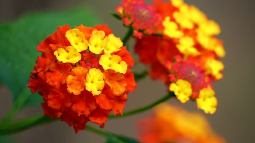 Close-up footage of yellow and orange colored Lantana Camara flowers