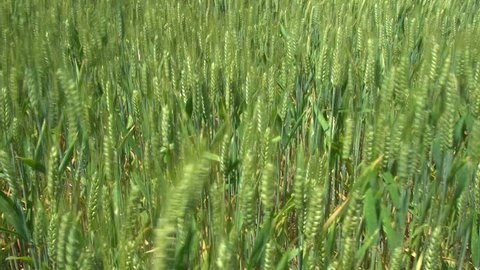 Close of growing green wheat to wide shot of wheat field blowing in wind