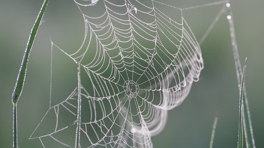 spider web with dew swaying in the wind on a foggy morning close up, birds singing, nightingale