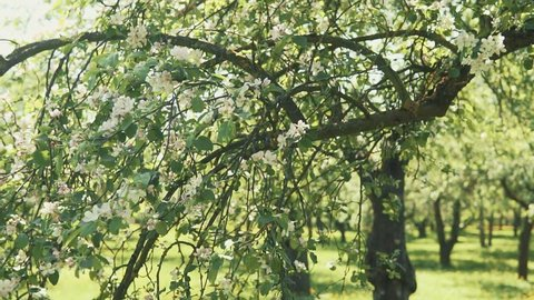 Blooming branch of apple tree in spring with light wind. Blossoming apple with beautiful white flowers.