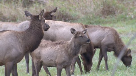 Elk Bull Cow Adult Young Calf Herd Eating Grazing in Fall in Oregon