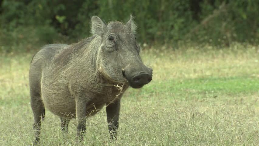 Warthog Pair Eating Dry Season in South Africa