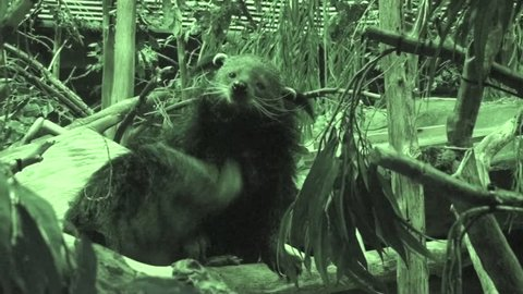Binturong Adult Pair Grooming Cleaning in Summer Bear Cat
