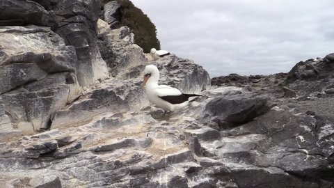 Nazca Booby Adult in Fall Masked in Ecuador