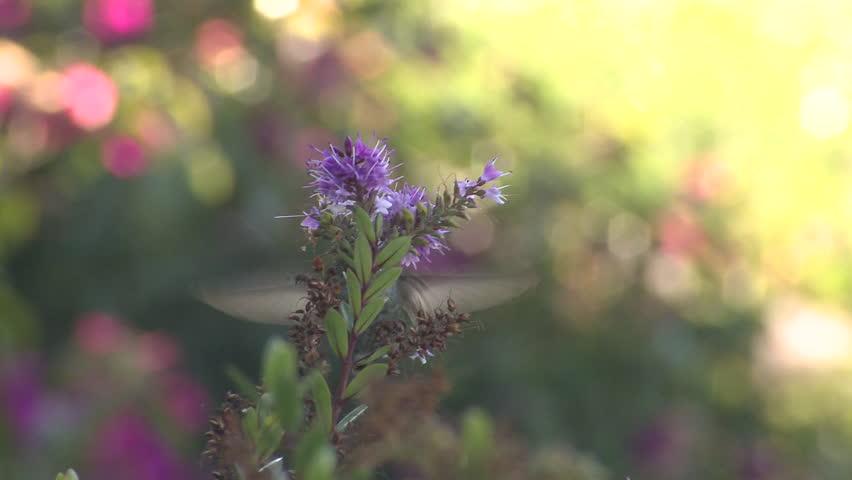 Annas Hummingbird Female Lone Eating Flower Nectar in California