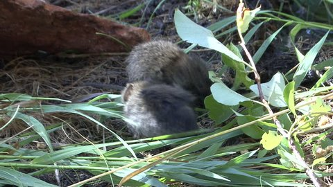 Long-tailed Vole Pair Grooming Cleaning in Fall Wet in South Dakota