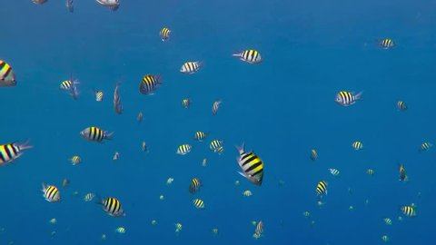 School of fish - Indo-Pacific sergeant, swimming in the blue sea. Reef fish in the water.  Scuba diving with the ocean wildlife.