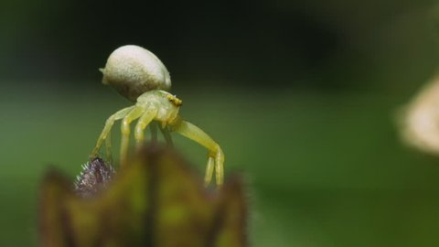 Small green Crab Spider sits on a flower and shoots a thread of cobwebs. Macro footage.
