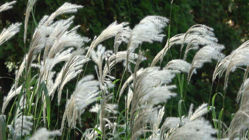 White feathery grass blowing in the wind.Medium view