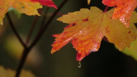 SLOW MOTION CLOSE UP: Raindrops falling on colorful maple tree leaves and splashing into droplets. Wet leaves in autumn forest after rainfall. Raining onto red and yellow tree leaves in rainy fall
