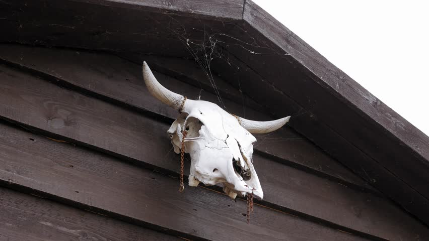 Cow skull hanging on wooden barn door 4k