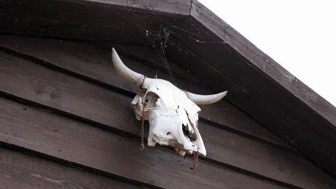 Cow skull hanging on wooden barn door 4k