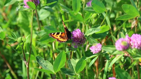 The butterfly collects nectar from the flowers of the clover in the meadow. Flowers and grass sway in the warm summer wind.