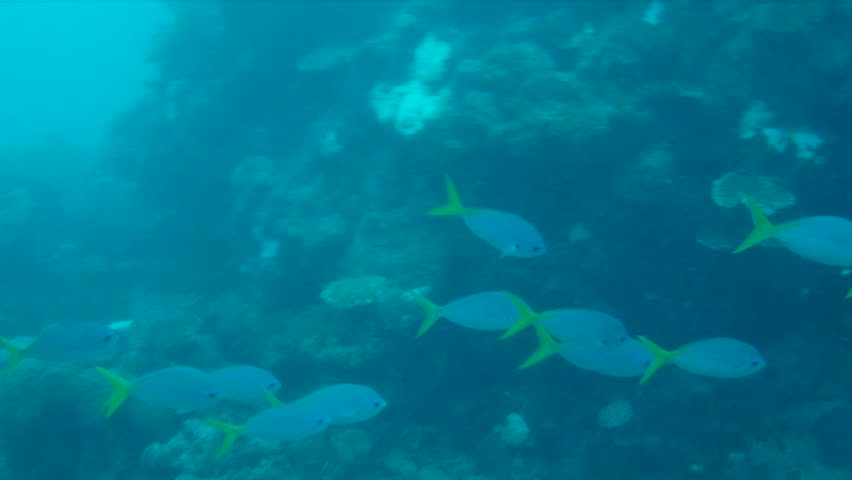 Yellowtail Fusilier Swiming Around Coral