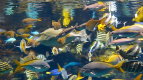 Yellowfin or Surgeonfish underwater in aquarium. Sea Fishes in glass cabinet.