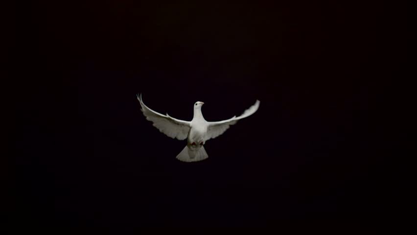White pigeon flying on black background, Ultra Slow Motion