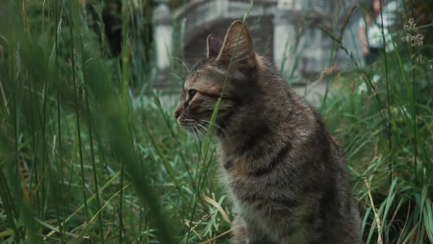 Funny gray cat is sitting in garden in grass. It is meowing and turning head