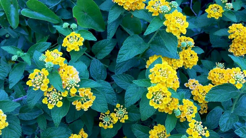 Lantana Camara shrub with green-blue leafs and yellow flowers