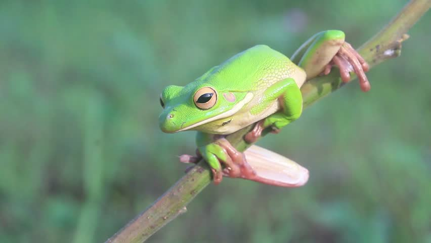 tree frogs on twigs in the wild in the morning