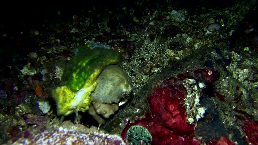 Sleepy sponge crab (Dromia dormia ) in the coral in the night Lembeh strait Indonesia   Shutterstock HD Video #1012009712