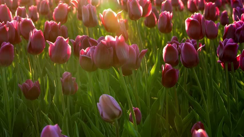 Purple flowers tulips swaying gently from a weak wind. The rays of the setting sun beautifully illuminate the flowers. Close-up.