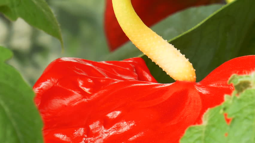 Video shows Red anthurium flowers