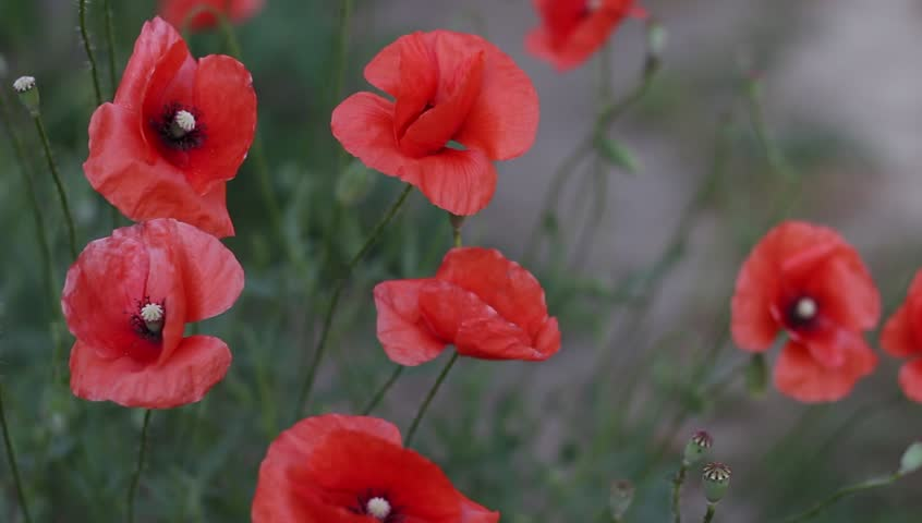 Poppies in Field Close Up