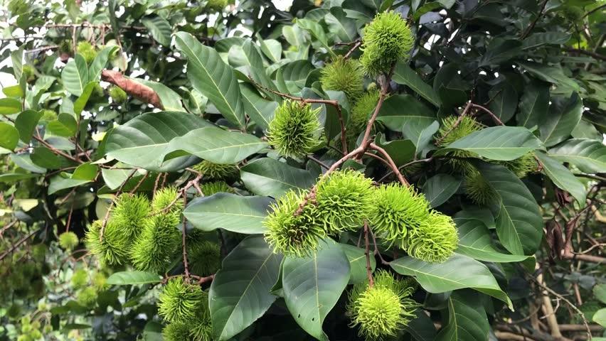 Green Rambutan on the tree, Rambutan.