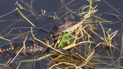 baby alligator sunning in a swamp