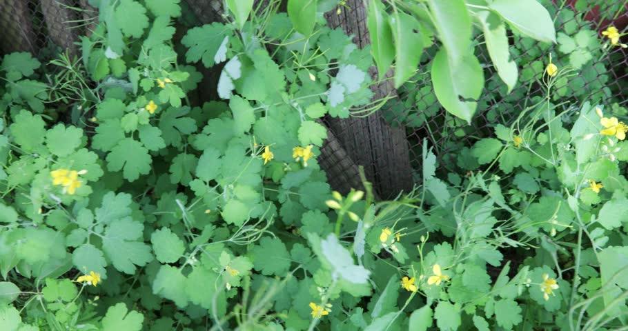 Creeping shrubs of a medicinal herb celandine