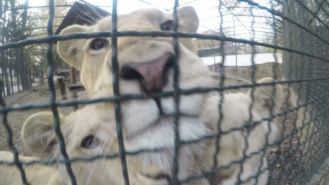 White lion,lioness and small lions in the zoo