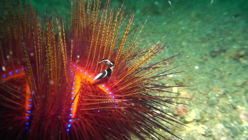 Radient sea urchin (Astropyga radiata) with small black and white fish in between the needles in Lembeh strait Indonesia