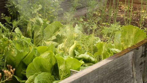Watering salad crop with water spray lance in small farm garden