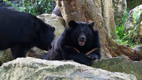 Asiatic black bear resting on rocks cuddling with another black bear over nature background