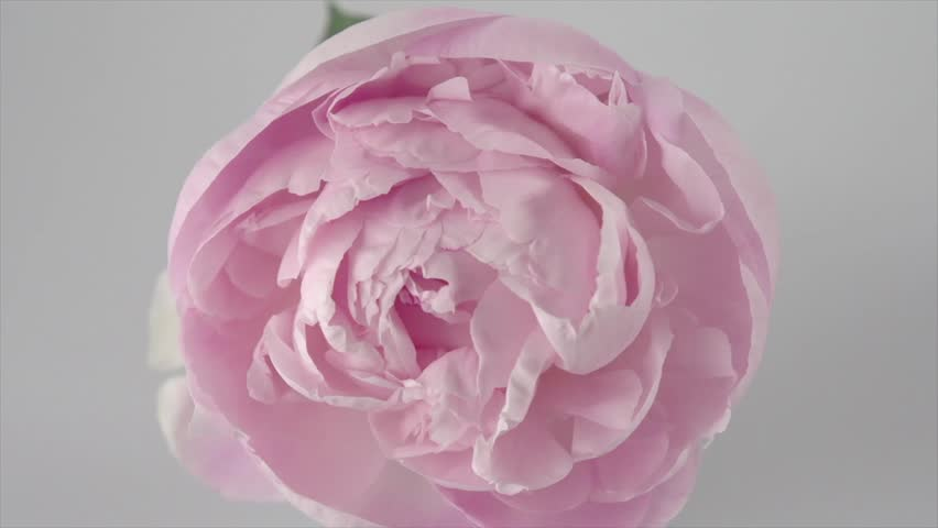Beautiful Pink Peony flower on grey background. Blooming peony open, time lapse, close-up.