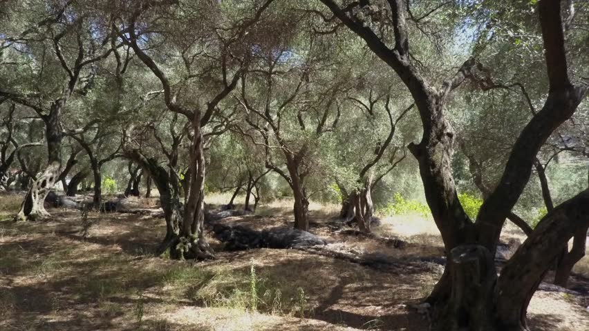 Drone view in olive tree forrest/garden. hot summer day in the Mediterranean area. beautiful old trees give shade. Sun fading through the leaves. dry ground. blue skies in Greece  | Shutterstock HD Video #1012256462