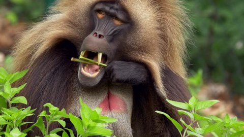 Gelada (Theropithecus gelada) eating leaves