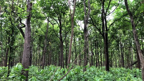 Dipterocarp forest in Huai Kha Khaeng Wildlife Sanctuary, Nature World Heritage in Thailand