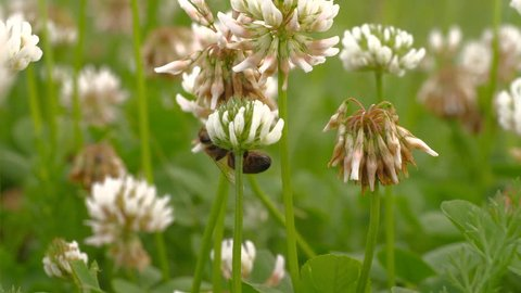 Macro shot of honey bee crawling on head of clover flower, collecting nectar.  Be moves from one flower to another. A group of clover flowers is in the background, with soft focus.