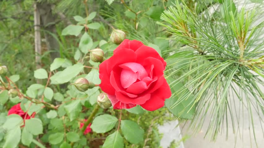 Beautiful Red Blooming Rose Flower Stock Footage Video 100 Royalty Free 1012413212 Shutterstock
