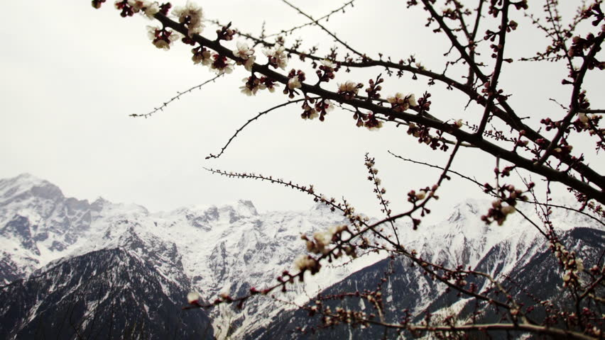 indian village in mountain at spring time, blooming apple garden, scenic view snow mountain peaks through tree branch with flower