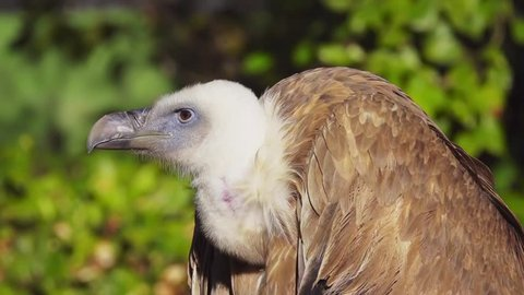 Griffon vulture (Gyps fulvus) is large Old World vulture in bird of prey family Accipitridae. It is also known as Eurasian griffon. It is closely related to white-backed vulture (Gyps africanus).