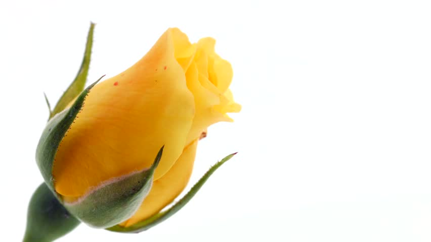 Beautiful yellow rose isolated on white background. Blooming rose flower open, time lapse, close-up. Floral backdrop, Valentine's Day concept. 4K UHD video timelapse