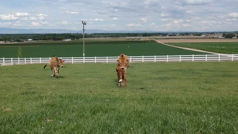Cows being friendly with a puppy.