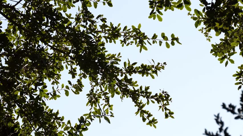 Quercus virginiana, southern live oak, is an evergreen oak tree native to southeastern United States.