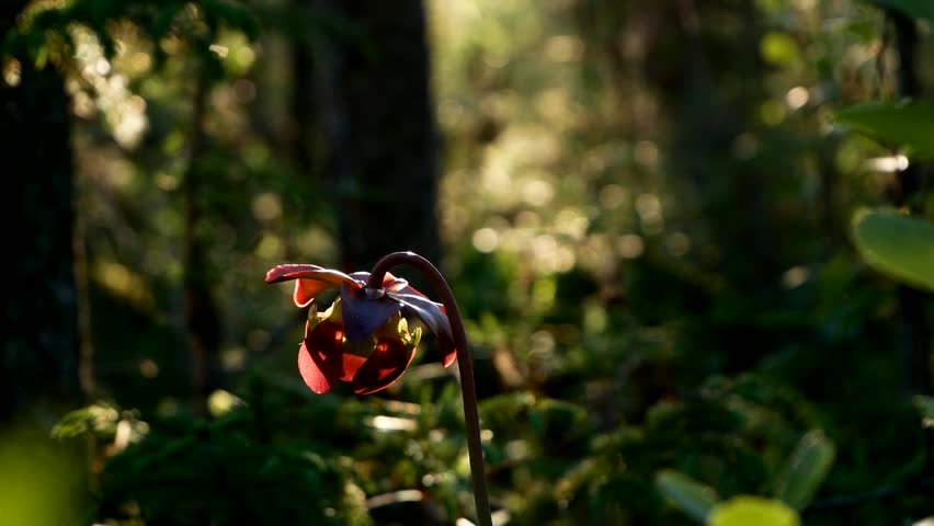 Purple Pitcher Plant, Sarracenia purpurea aka northern pitcher plant, turle socks or side-saddle flower is a carnivorous plant. Found in Bemidji Minnesota.